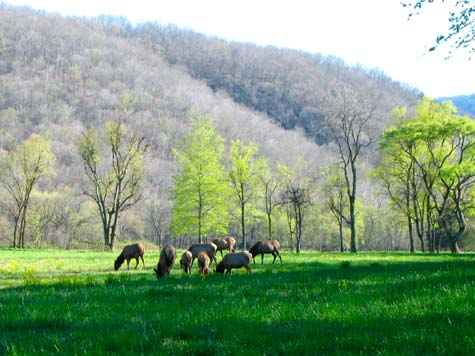 Elk in Buffalo River National Park